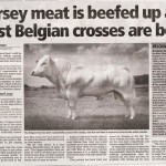Belgian Blue Jersey Cross JEP