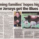 Belgian Blue and Jersey cross cow at Classic Farm Jersey